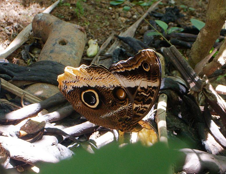 Banded Owl-Butterfly (Caligo atreus dionysos)