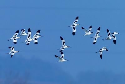 KLYDE - Avocet (Recurvirostra avosetta)