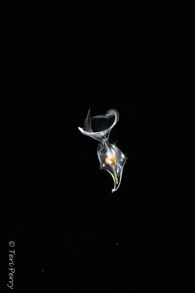 BLACKWATER - Pteropod Diacria trispinosa?-0104-Edit.jpg