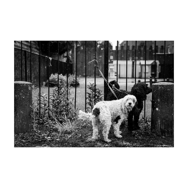 159_DogsatPollingStation_10x10.jpg
