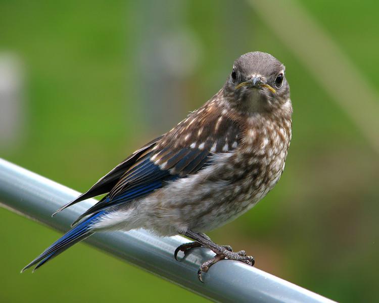 bluebird_fledgling_1331.jpg