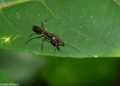 Malaysian Hymenoptera, Diptera -  Hymenopteres et Dipteres de Malaysie