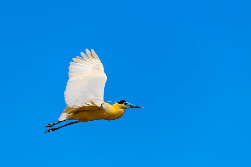 Capped Heron.jpg