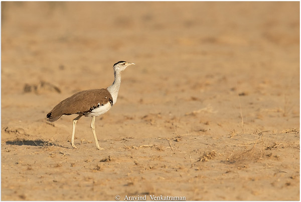 Bustards of India