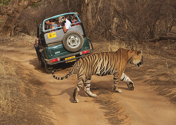 Bengal Tigers in India | Ranthambhore Tiger Reserve