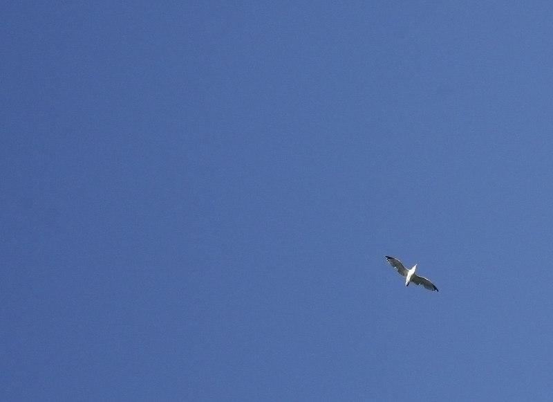 seagull at pleasant hill bart.jpg