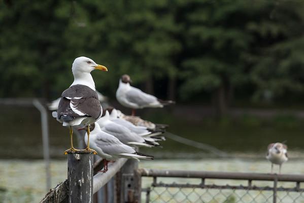 Havstrut (Great Black-backed Gull)