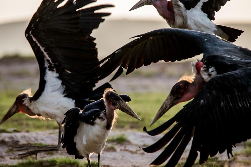 Marabou Stork, Leptoptilus crumeniferus