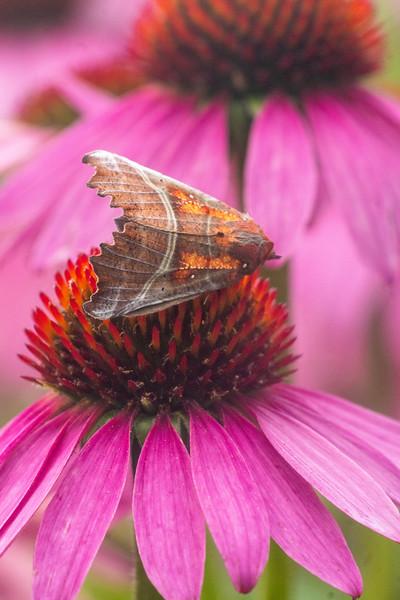 Scoliopteryx libatrix The Herald moth 93-0601 8555 Family Erebidae Skogstjarna Carlton County MN  DSC06940.jpg