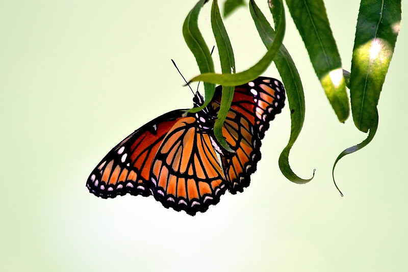 ButterflyOrange.jpg