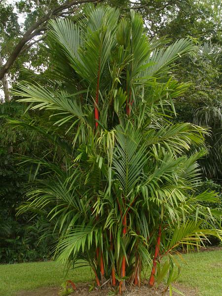 20070527_2840 Lipstick palm, Palmetum, Townsville.