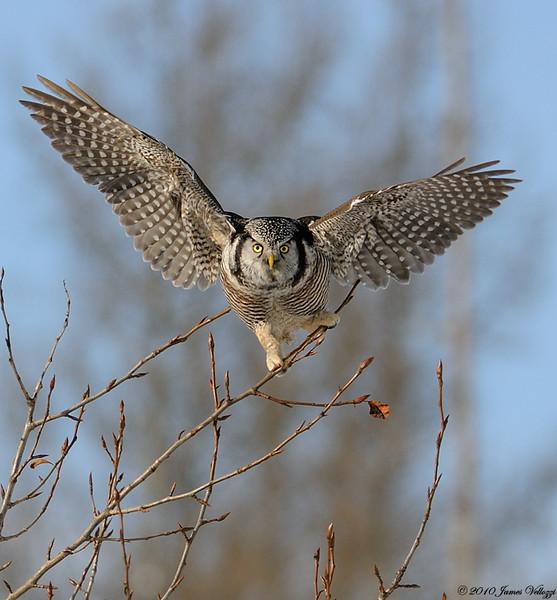 Northern Hawk Owl, Surnia ulula