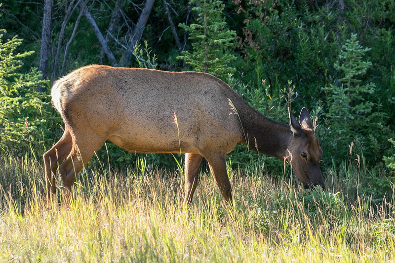 Elk at Vermillion Lakes.