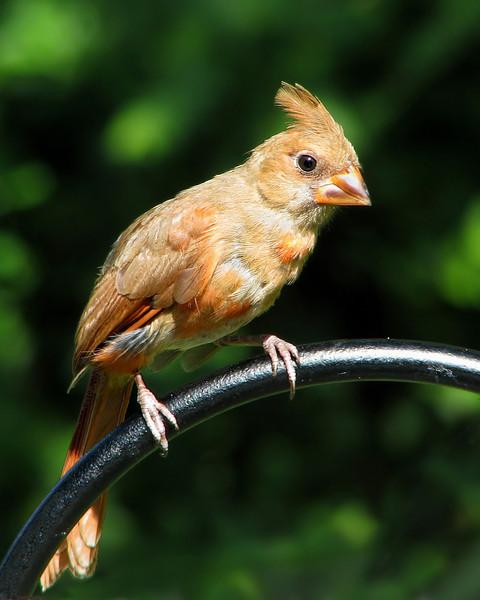 cardinal_fledgling_8528.jpg