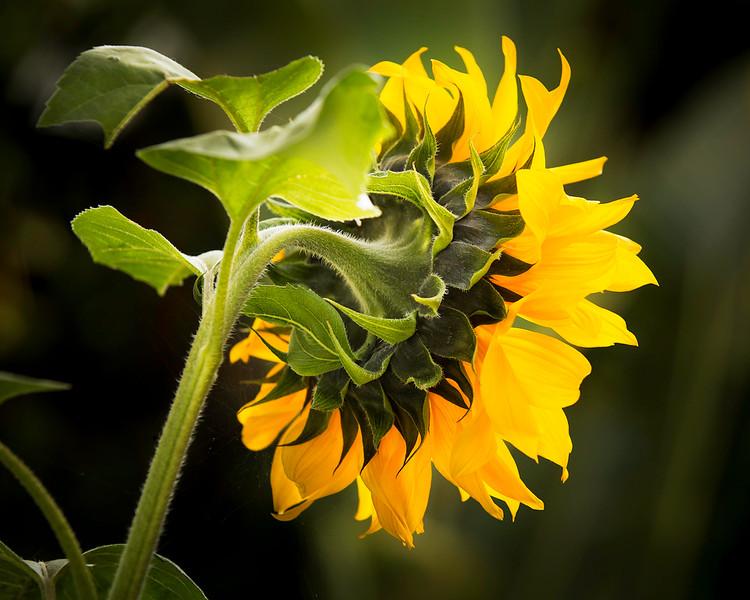 Sunflower_02_(20x16).jpg