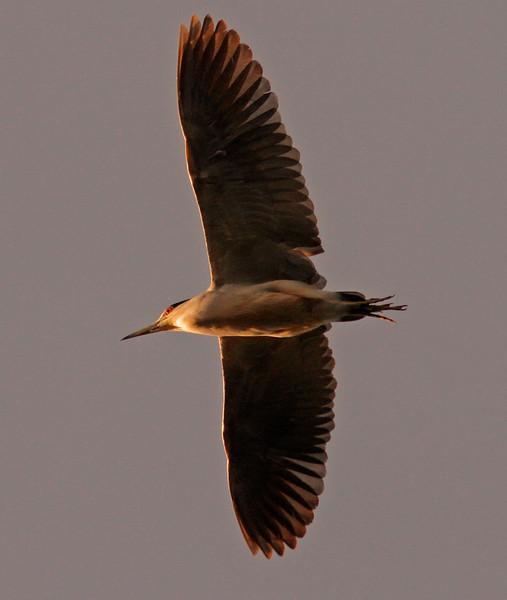 Night Heron at sunrise, Colusa WLR