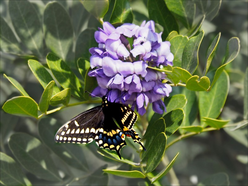 +++2018-03050193 Mountain Laurel Blooms & Butterfly – Version 4