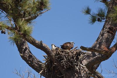 Osprey Watch Nest 7039 Cavalier