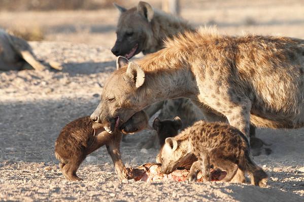 Hyena Den Mashatu Botswana 2013