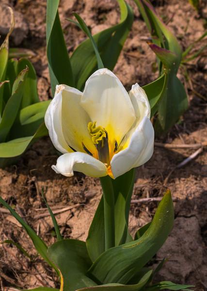 180507_26_VA_Tulips-1.jpg