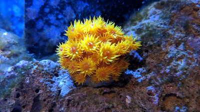 2018-07-18 - Reef tank update Sun Coral