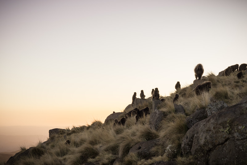 Geladas at dusk : Simien Mountains