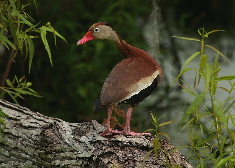 Black-bellied Whisting Duck