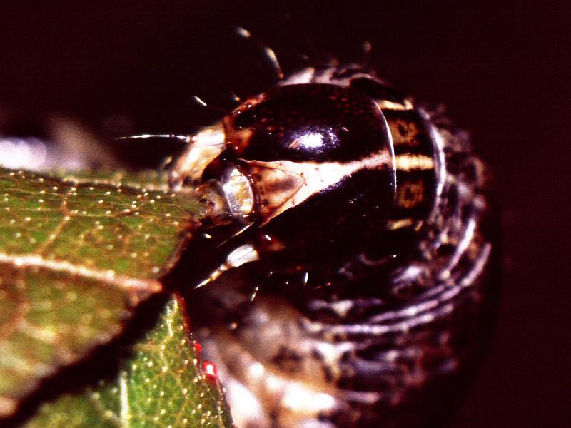 Noctuidae (Lepidoptera) on Vaccinium sp., West Maui
