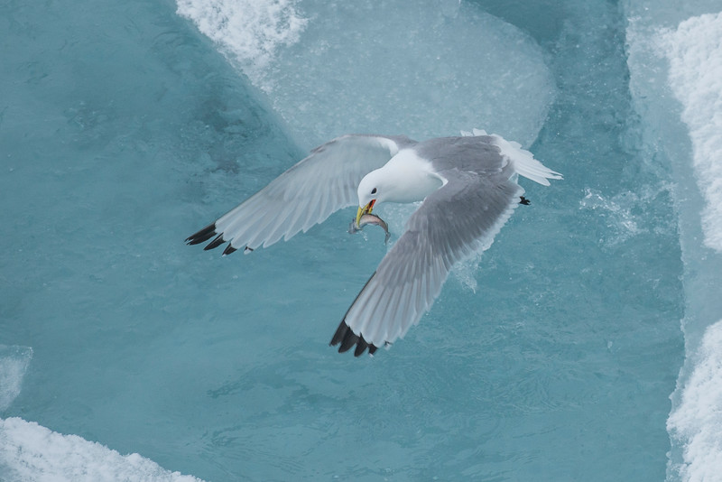 Kittiwake with Polar Cod, Arctic pack Ice
