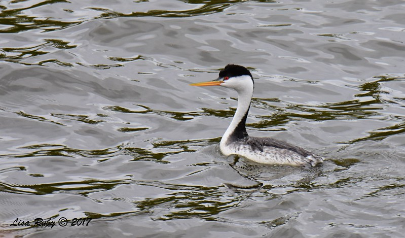 Clark's Grebe - 6/11/-2017 - Lake Hodges, Bernardo Bay Trail
