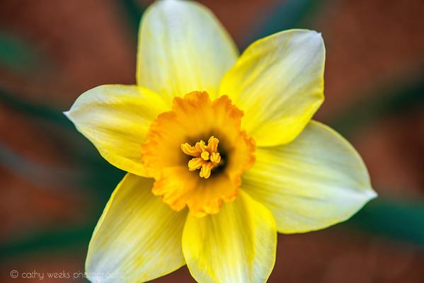 Daffodils 2021