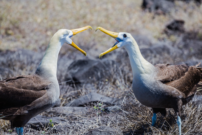 Galapagos Islands animals - Waved Albatross - Lina Stock