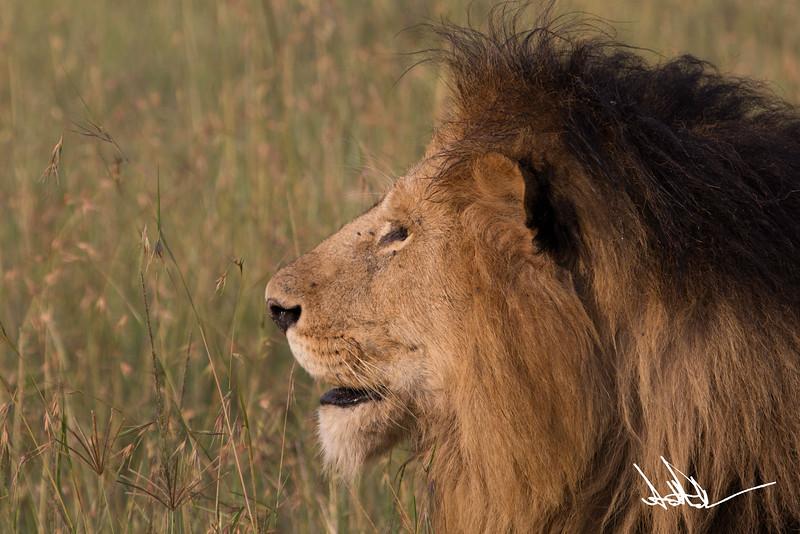 Lions Masai Mara - S-4.jpg