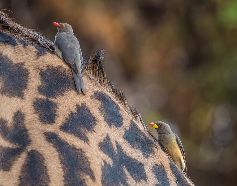 Annie Nash Oxpeckers on giraffe.jpg