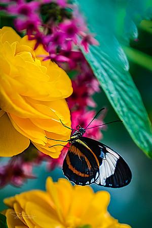 Butterflies 2016
