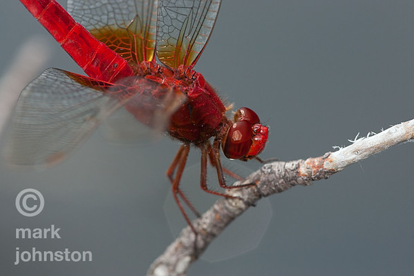 Dragonflies and Damselflies - Odonata
