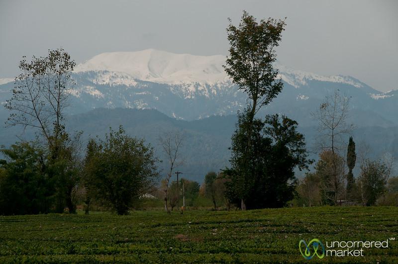 Tea Estate and Snow-Covered Mountains - Fuman, Iran