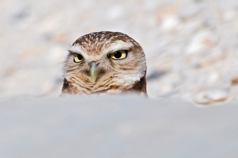 Owl - Burrowing - St. George Island, FL - 02