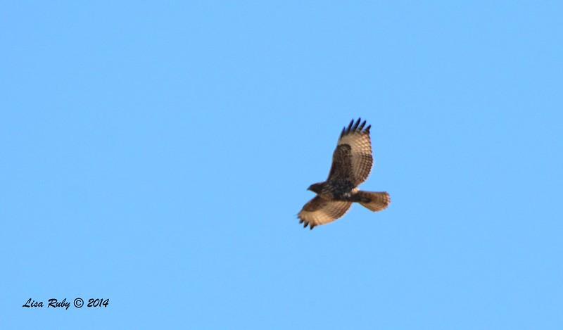 Red-tailed Hawk - 12/29/2014 - San Diego River area near Sea World