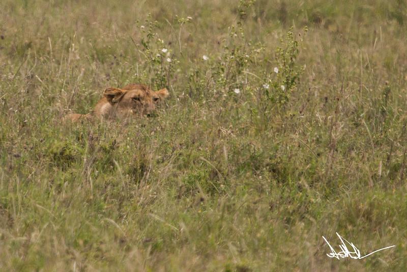Lions Serengeti - S-5.jpg