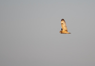 Short-eared Owl at Anahuac NWR
