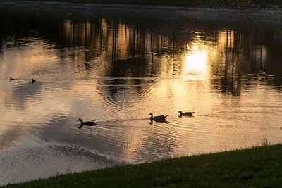 03_West Palm Beach - Muscovy Duck