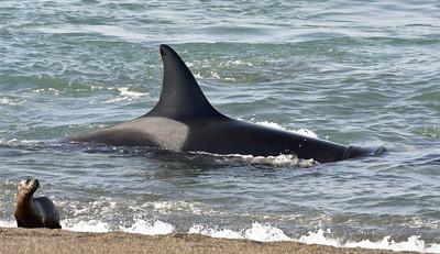 Orcas At Peninsula Valdes, Argentina
