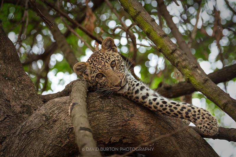 Mfuwe_leopard_8368cc2fx-web.jpg