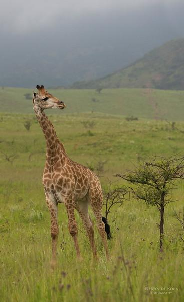 Giraffe, Ithala NP, KZN, SA Jan-2014-1.jpg