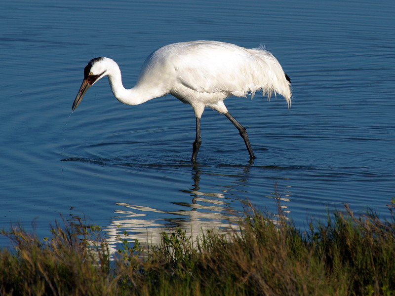 Whooping crane foraging, Aransas Natl. Wildlife Refuge