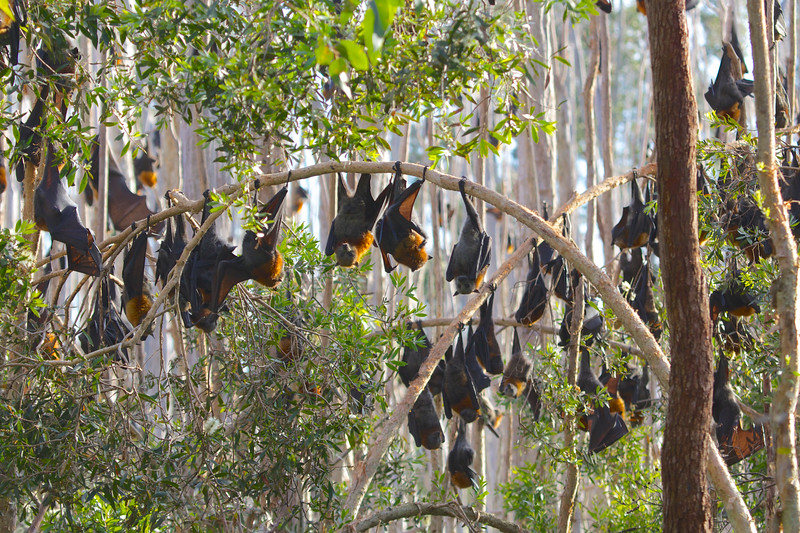Grey-headed flying-fox roost, Australia
