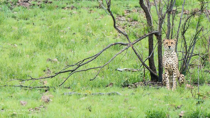 Cheetah, Pilansberg National Park, SA, Dec 2013-1 copy.jpg