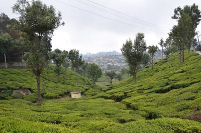 Tea Gardens at Coonoor -  Ooty - Udhagamandalam