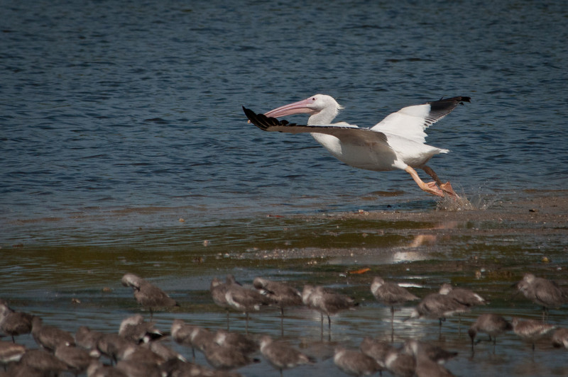 White Pelican gets airborne at Ding Darling